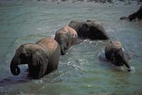 アフリカゾウ 23018030090| 写真素材・ストックフォト・画像・イラスト素材|アマナイメージズ