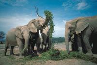 アフリカゾウ 23018030101| 写真素材・ストックフォト・画像・イラスト素材|アマナイメージズ