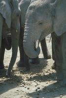 アフリカゾウ 23018030103| 写真素材・ストックフォト・画像・イラスト素材|アマナイメージズ