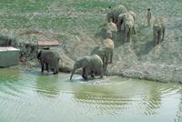アフリカゾウ 23018030106| 写真素材・ストックフォト・画像・イラスト素材|アマナイメージズ