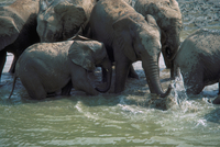 アフリカゾウ 23018030107| 写真素材・ストックフォト・画像・イラスト素材|アマナイメージズ
