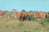 アフリカゾウ 23018030108| 写真素材・ストックフォト・画像・イラスト素材|アマナイメージズ