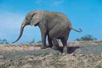 アフリカゾウ 23018030113| 写真素材・ストックフォト・画像・イラスト素材|アマナイメージズ