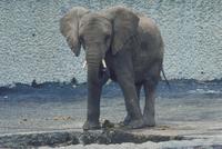 アフリカゾウ 23018030114| 写真素材・ストックフォト・画像・イラスト素材|アマナイメージズ