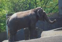 アジアゾウ(インドゾウ) 23018030116| 写真素材・ストックフォト・画像・イラスト素材|アマナイメージズ