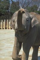 アジアゾウ(インドゾウ) 23018030117| 写真素材・ストックフォト・画像・イラスト素材|アマナイメージズ