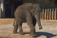 アジアゾウ(インドゾウ) 23018030118| 写真素材・ストックフォト・画像・イラスト素材|アマナイメージズ