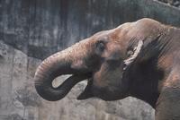 アジアゾウ(インドゾウ) 23018030120| 写真素材・ストックフォト・画像・イラスト素材|アマナイメージズ