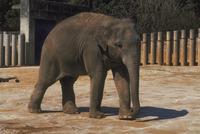 アジアゾウ(インドゾウ) 23018030121| 写真素材・ストックフォト・画像・イラスト素材|アマナイメージズ