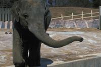 アジアゾウ(インドゾウ) 23018030124| 写真素材・ストックフォト・画像・イラスト素材|アマナイメージズ