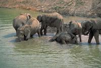 アフリカゾウ 23018030125| 写真素材・ストックフォト・画像・イラスト素材|アマナイメージズ