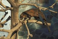 アカハナグマ 23018030384| 写真素材・ストックフォト・画像・イラスト素材|アマナイメージズ