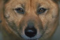 イヌ(柴犬)