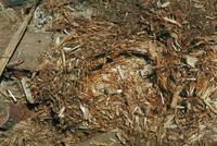 ニホンヤマネの冬眠あと 23018030767| 写真素材・ストックフォト・画像・イラスト素材|アマナイメージズ