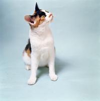 ネコ(ニホンネコ) 23018030863| 写真素材・ストックフォト・画像・イラスト素材|アマナイメージズ