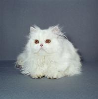 ネコ(ペルシャ) 23018030871| 写真素材・ストックフォト・画像・イラスト素材|アマナイメージズ