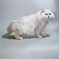 ネコ(チンチラ) 23018030873| 写真素材・ストックフォト・画像・イラスト素材|アマナイメージズ