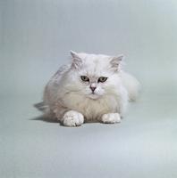 ネコ(チンチラ) 23018030876| 写真素材・ストックフォト・画像・イラスト素材|アマナイメージズ