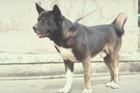 イヌ(秋田犬) 23018031050| 写真素材・ストックフォト・画像・イラスト素材|アマナイメージズ