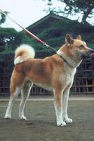 イヌ(秋田犬) 23018031051| 写真素材・ストックフォト・画像・イラスト素材|アマナイメージズ