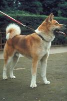 イヌ(秋田犬) 23018031052| 写真素材・ストックフォト・画像・イラスト素材|アマナイメージズ