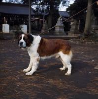 イヌ(セントバーナード) 23018031064| 写真素材・ストックフォト・画像・イラスト素材|アマナイメージズ