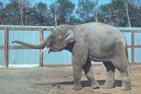 アジアゾウ(インドゾウ) 23018031125| 写真素材・ストックフォト・画像・イラスト素材|アマナイメージズ