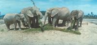 アフリカゾウ 23018031128| 写真素材・ストックフォト・画像・イラスト素材|アマナイメージズ