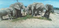 アフリカゾウ 23018031130| 写真素材・ストックフォト・画像・イラスト素材|アマナイメージズ