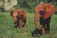 アフリカゾウ 23018031131| 写真素材・ストックフォト・画像・イラスト素材|アマナイメージズ