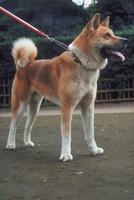 イヌ(秋田犬) 23018031160| 写真素材・ストックフォト・画像・イラスト素材|アマナイメージズ