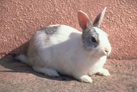 ウサギ 23018031395| 写真素材・ストックフォト・画像・イラスト素材|アマナイメージズ