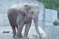 アジアゾウ(インドゾウ) 23018031409| 写真素材・ストックフォト・画像・イラスト素材|アマナイメージズ