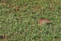 ノネズミの仲間