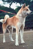 イヌ(秋田犬) 23018031504| 写真素材・ストックフォト・画像・イラスト素材|アマナイメージズ