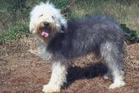 イヌ(オールド・イングリッシュ・シープドッグ) 23018031546| 写真素材・ストックフォト・画像・イラスト素材|アマナイメージズ