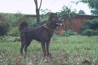 イヌ(甲斐犬) 23018031549| 写真素材・ストックフォト・画像・イラスト素材|アマナイメージズ