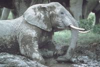 アフリカゾウ 23018031635| 写真素材・ストックフォト・画像・イラスト素材|アマナイメージズ