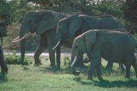 アフリカゾウ 23018031637| 写真素材・ストックフォト・画像・イラスト素材|アマナイメージズ