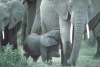 アフリカゾウ 23018031638| 写真素材・ストックフォト・画像・イラスト素材|アマナイメージズ