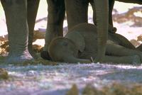 アフリカゾウ 23018031642| 写真素材・ストックフォト・画像・イラスト素材|アマナイメージズ