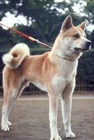イヌ(秋田犬) 23018031745| 写真素材・ストックフォト・画像・イラスト素材|アマナイメージズ