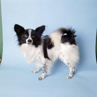 イヌ(パピヨン) 23018031770| 写真素材・ストックフォト・画像・イラスト素材|アマナイメージズ