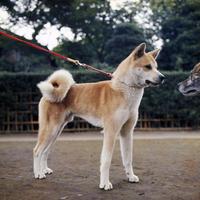 イヌ(秋田犬) 23018031878| 写真素材・ストックフォト・画像・イラスト素材|アマナイメージズ