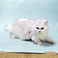 ネコ(チンチラ) 23018031882| 写真素材・ストックフォト・画像・イラスト素材|アマナイメージズ