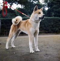 イヌ(秋田犬) 23018031888| 写真素材・ストックフォト・画像・イラスト素材|アマナイメージズ