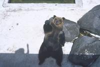 ヒグマ(エゾヒグマ) 23018031944| 写真素材・ストックフォト・画像・イラスト素材|アマナイメージズ