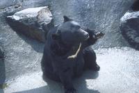 ニホンツキノワグマ 23018031950| 写真素材・ストックフォト・画像・イラスト素材|アマナイメージズ