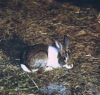 ウサギ(ダッチ)