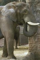 アフリカゾウ 23018032185| 写真素材・ストックフォト・画像・イラスト素材|アマナイメージズ
